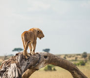 Lion in wildlife Royalty Free Stock Photos