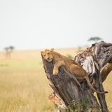 Lion in wildlife Royalty Free Stock Images