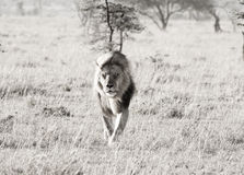 Lion in the wind. A lion in the masai mara, early morning walking away from a kill Stock Photography