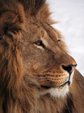 Lion wisdom profile close up at the snow. The Lion wisdom profile close up at the snow royalty free stock image