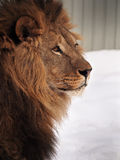 Lion wisdom profile close-up at the snow. The Lion wisdom profile close-up at the snow Stock Images