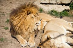 Free Lion With Lioness Stock Image - 42278351
