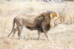 Lion wondering the hot African savannah Royalty Free Stock Photos
