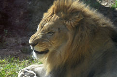 Lion with Wrinkles in his Nose as He Snarls and Growls Royalty Free Stock Photography