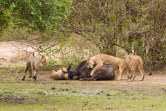 Lion (Panthera leo) killing an African Buffalo Royalty Free Stock Images