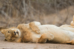 Lion (Panthera leo) rolling on back Stock Photography