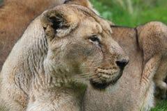 Lion & x28;Panthera leo& x29; Royalty Free Stock Photo