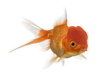 Lion's head goldfish opening mouth Stock Images