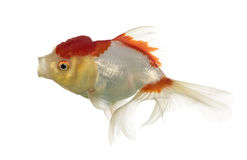 Lion's head goldfish opening mouth Stock Photo