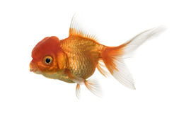 Lion's head goldfish swimming Stock Images