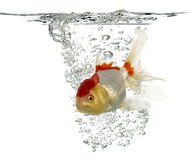 Lion's head goldfish swimming Stock Photography