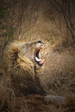 Lion Yawn Royalty Free Stock Photos