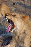 Lion yawn Royalty Free Stock Images