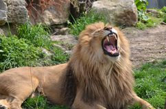 Lion yawn Stock Images
