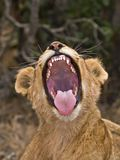 Lion Yawn Royalty Free Stock Photography