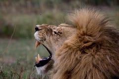 Lion Yawn Arkivbilder