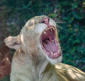 Lion Yawn Royalty-vrije Stock Foto