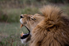 Lion yawn. Big male lion showing teeth Stock Images