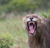 Lion Yawn inzuppato Fotografia Stock Libera da Diritti