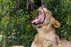 Lion yawn South Africa Stock Photo