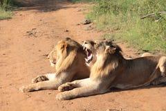 Lion Yawn Royalty Free Stock Photo