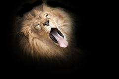 Lion yawning Stock Photos