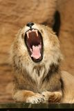 Lion yawning Royalty Free Stock Image