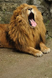 Lion yawning. Big african lion yawn after feed Royalty Free Stock Photography