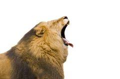 Lion Yawning Royalty Free Stock Images