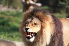 Lion after yawning Stock Photos