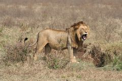 Lion yawning Stock Image