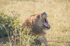 Lion yawning behind bush on sunny savannah Royalty Free Stock Images