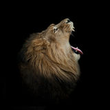 Lion yawning on black profile Stock Photography
