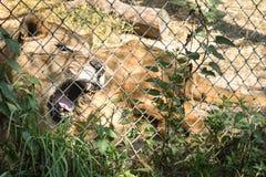 Lion Yawning in Gevangenschap royalty-vrije stock foto