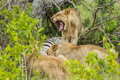 Lion yawning at Kill South Africa Royalty Free Stock Image