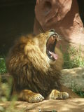 Lion - The yawning king. A lion yawning his head off, Taronga Zoo, Sydney Stock Photos
