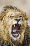 Lion yawning in Kruger Park, South Africa Stock Photography