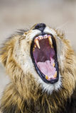 Lion yawning in Kruger Park, South Africa Stock Images