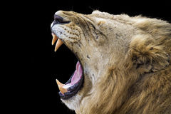 Lion yawning in Kruger Park, South Africa Royalty Free Stock Images