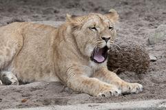 Lion. Yawning lion laying lazy in the sun Royalty Free Stock Images