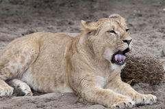 Lion. Yawning lion laying lazy in the sun Stock Photography