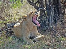 Lion Yawning Stock Photography