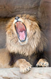 Lion yawns Royalty Free Stock Photography