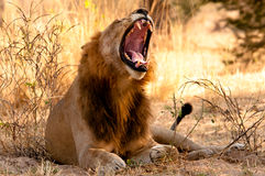 A Lion yawns in the early Morning Stock Image