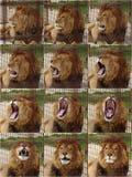 Lion yawns Stock Image
