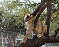 The lion yawns, sitting on a tree. Branch Royalty Free Stock Image