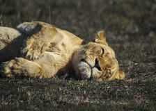 Lion. A young Lion have a nap after lunch Royalty Free Stock Photo