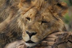 Lion. Young male lion just laying around Stock Images