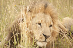 Lion. A young lion rests in the African savannah Stock Photo