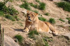 A lion. A young lion in a zoo Stock Image